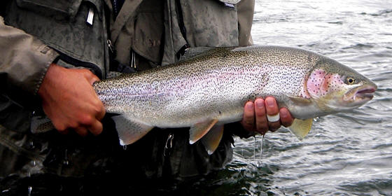 Rainbow Trout Alagnk River Alaska