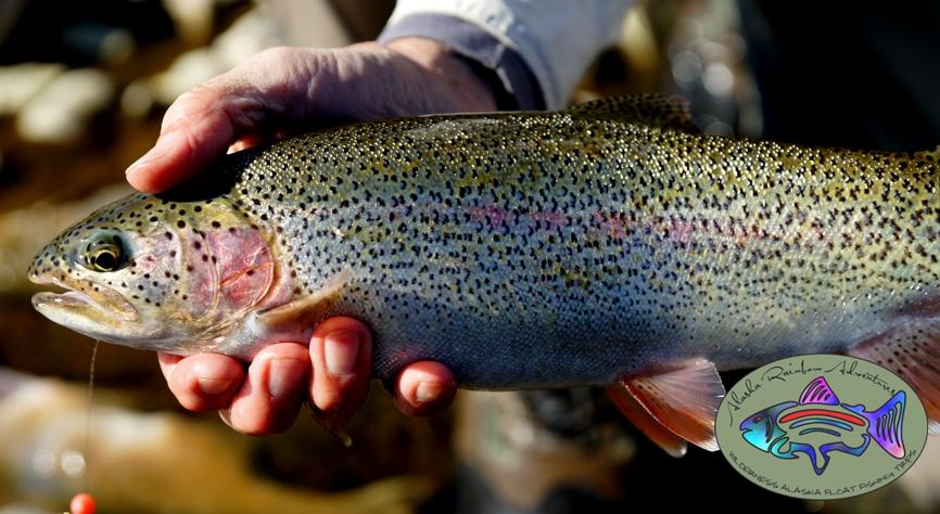 Talachulitna River Rainbow Trout Alaska