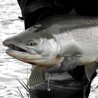 Alagnak River Alaska Sockeye