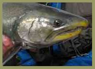Alaska alagnak river flyfishing sockeye