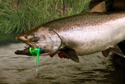 Stuyahok River King Salmon