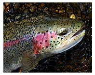 Talachulitna River Alaska rainbow trout